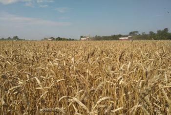 Валовый сбор зерна в Башкортостане превысил 900 тысяч тонн