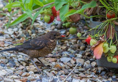 О том, как дрозд украл покой садоводов