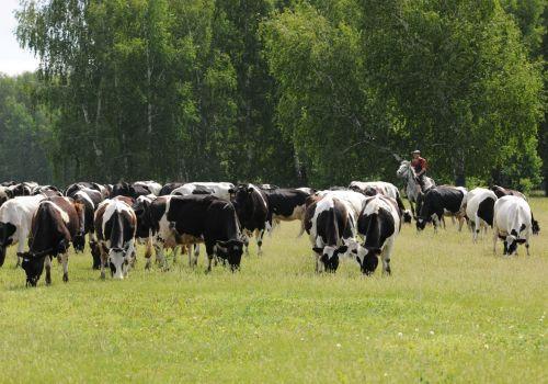 В шести районах производится треть всего молока в Башкортостане