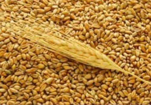 Российский зерновой рынок: разнонаправленная динамика цен сохраняется