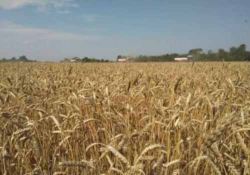 В Башкортостане собрали почти полмиллиона тонн зерна нового урожая