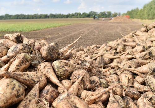 Сахарные заводы республики переработали более 100 тысяч тонн свеклы нового урожая