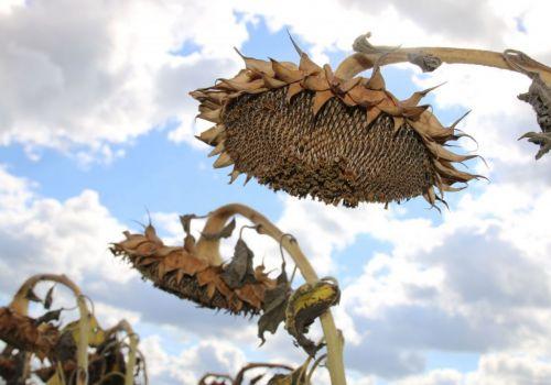 В Башкортостане убрали более трети посевов подсолнечника