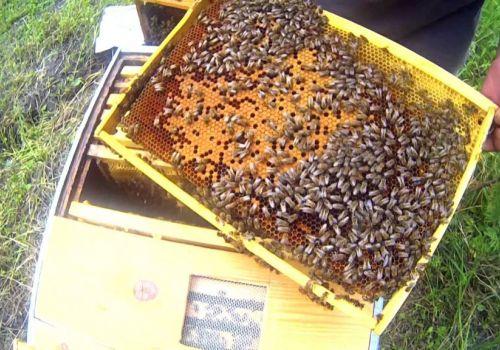 Башкирские пчеловоды выиграли грант на восстановление чистопородной бурзянской пчелы