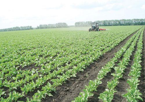 В России оптимизируют посевы сахарной свеклы
